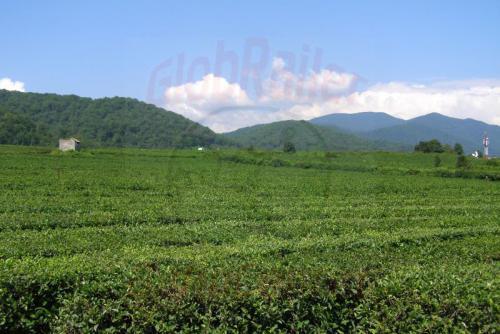 03.08.2006 - Schache Teeplantagen